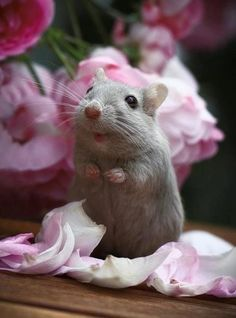O Ποντικούλης