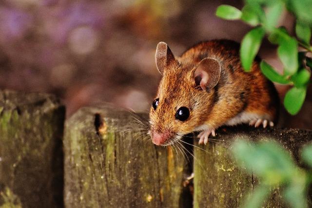 Κορνήλιος, ο ποντικούλης