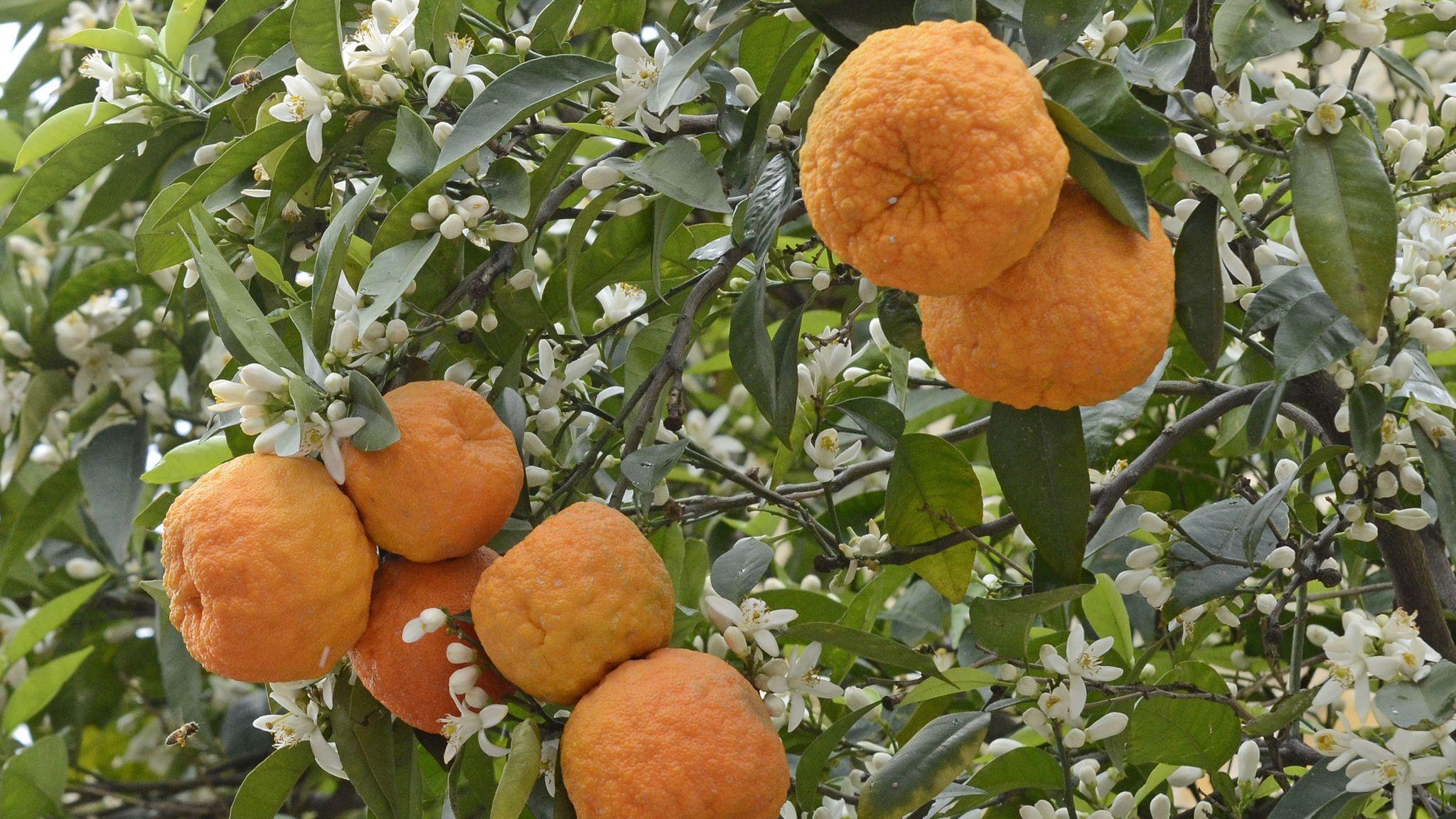 Νερολί: έλαιο από άνθη νεραντζιάς