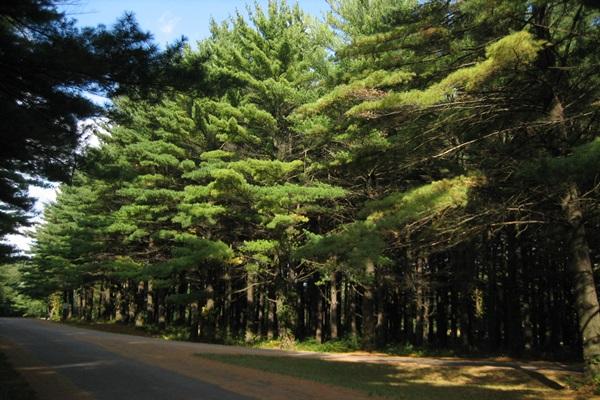 Συλλέγει «δάκρυα» από πεύκα, δίνοντας χαρά στο δάσος και την οικογένειά του